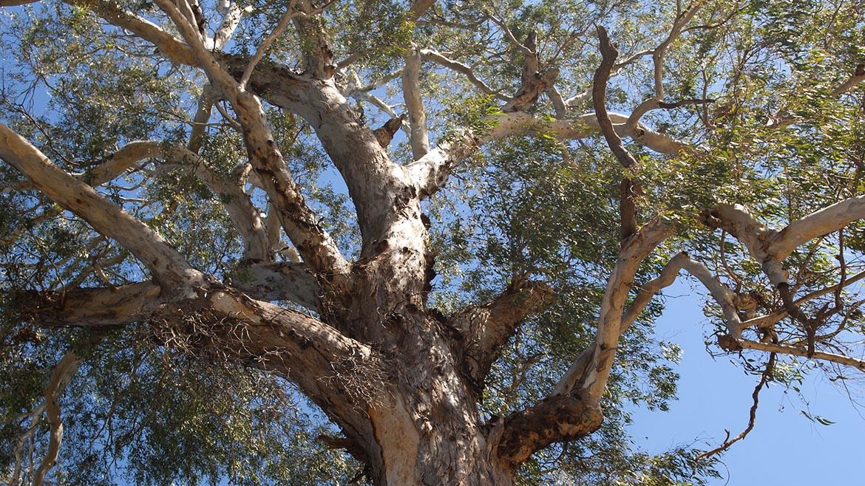 Tree Of The Week: Eucalyptus Camaldulensis