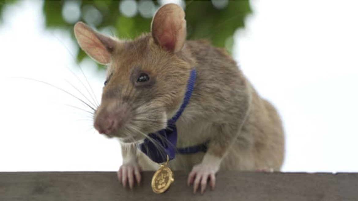 Magawa the rat, peeking over a wall. Magawa is wearing a gold medal.