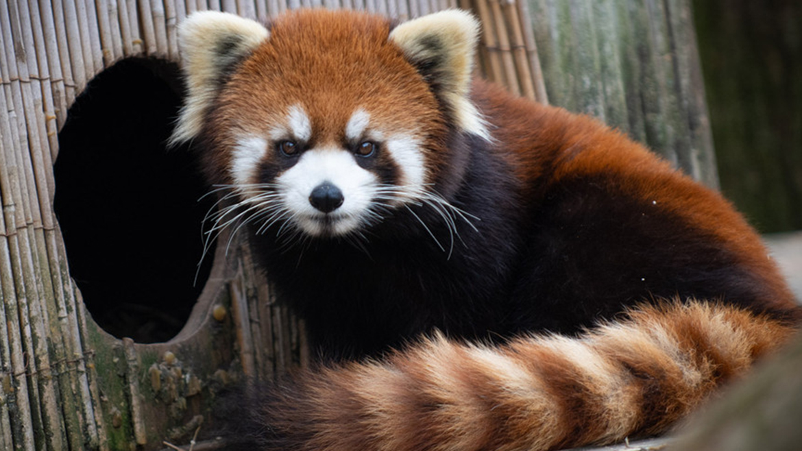 Kora, a 19-pound red panda at the Columbus Zoo