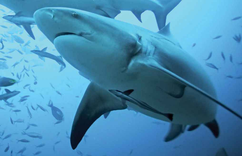 The bull shark is one of the fiercest predators in the ocean.